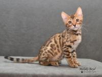 Beautiful brown spotted Bengal kitten available. DOB