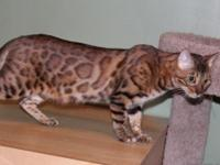 "This is ""Rina"" a purebred Bengal feline who is simply"