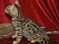 Lovely Bengal Kittens readily available to enjoying pet