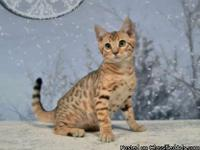 I have 4 beautiful bengal kittens for sale 1 x Brown