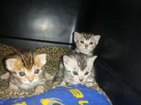 Hi there! I have 3 beautiful Bengal kittens for sale.