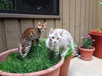 TICA Registered Spotted Bengal Kittens ready for their