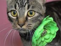 Beautiful three year old neutered male Bengal needs a