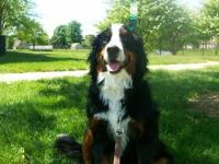 Outstanding Bernese Mountain Dog. Up to date on all