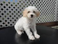 Goreous Bichapoo Puppy. He is 11 weeks old, neutered,