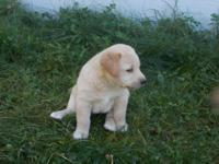 Beautiful yellow/fox red and black lab puppies looking