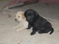 yellow/fox red and black lab puppies ready for their