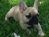 Beautiful Black And Pied French Bulldog Girlstext or