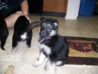 Updated 3-13-13 I have 2 GSD puppies out of a litter of