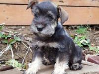 Beautiful AKC Mini Schnauzer puppies. Mom is 11lbs. Dad