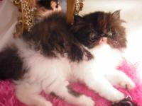 Adorable persian kitten for sale in St. Louis, Mo. I