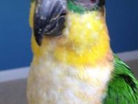 Two gorgeous Black Capped Caique siblings with