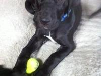 Female Great Dane puppy, black with white markings,