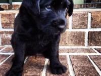 Three beautiful black female Labradoodle young puppies