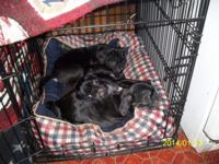 have 2 beautiful black female puppies left they have