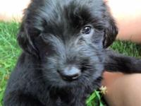 Black and Silver Phantom Goldendoodle puppies ... born