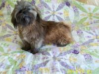 Lovely black/gray 1 years of age Shih-Tzu CKC signed