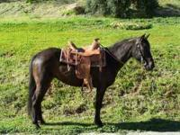 Skeeter is an 8yr old GRADE MorganxQuarter horse. She