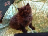 CFA registered black Persian kittens. CPC. One boy. One