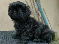 Beautiful Black Shih-Tzu puppies, 2 males 2 females.