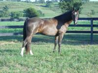 Gypsy is a beautiful 6 yr old TN Walker saddle mare.