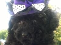 Adorable dark black toy poodle female young puppy. She