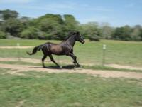 Grade black gelding, about 8 years old, will go
