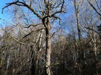 Beautiful, old black walnut tree for sale for milling.