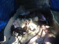 I have 9 Blue Pitt and Smaller Breed Mixed Puppies that