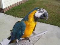 She is a stunning hand-fed, 3 year old macaw. She can