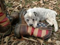 Red & blue heeler puppies mom and dad on site and