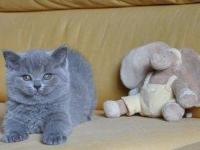 beautiful British Shorthair kittens 2 blue boys, 1 blue