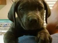 Beautiful BLUE Male and Female CANE CORSO Pups for