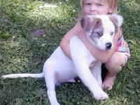 12 week old male American Bulldog to good forever home.