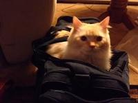 Oscar is a 4 year-old TICA Flame Male Ragdoll. He was