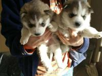 We have 5 beautiful pure bred husky puppies that will
