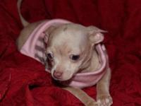 Born 8/28/14 short coat lavender merle Chihuahua with