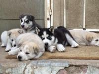 I have 6 Siberian husky puppies available. 4 males and