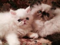 """Sugar and Spice"" are two beautiful female kittens and"