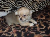 This little gourgeous blue fawn female Chihuahua is now