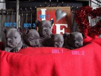 Blue French bulldog puppies available. 5 born in the