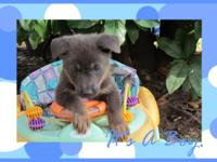 AKC Registered Blue German Shepherds There are 3 males