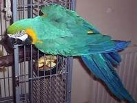 Beautiful bright MALE BLUE & GOLD ,age approx.14,Need's