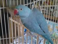 This is Indie a 4 year old male blue head pionus .