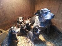 Beautiful purebred blue heeler puppies, 7 weeks old,