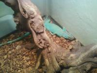 Blue Iguana For Sale : Iguanas for sale buy sell rehome reptiles pets homes