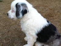 Phantom is a wonderful blue merle female aussie. She