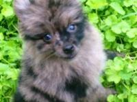 I have a beautiful small male Pom puppy who was born