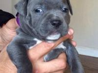Beautiful Blue nose pit bull puppies are Brilliant with