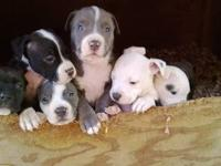 I have 6 beautiful blue nose puppies for sale.300 each